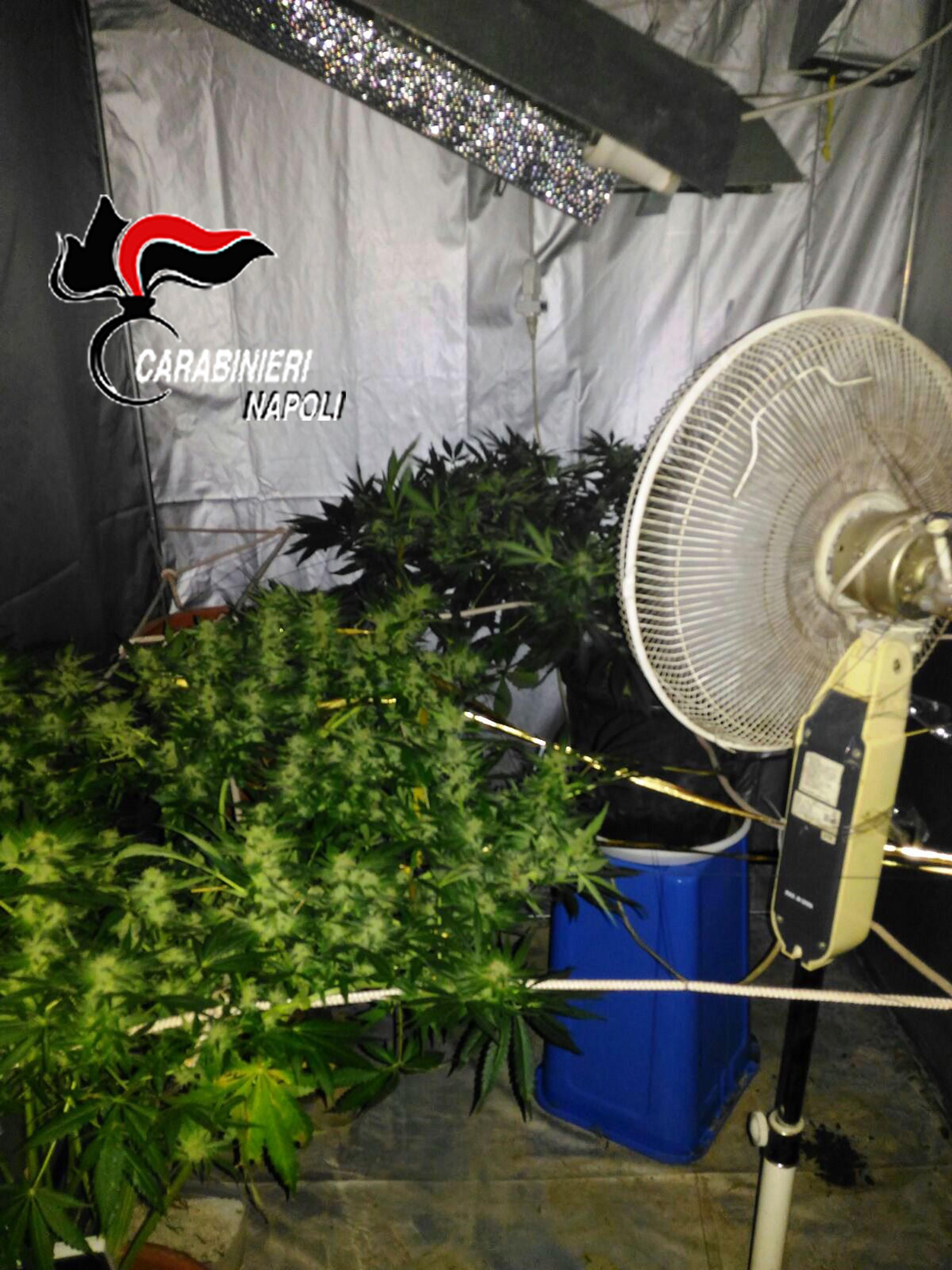 serra cannabis portici
